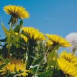 Loewenzahnblueten und Pusteblume vor blauem Himmel